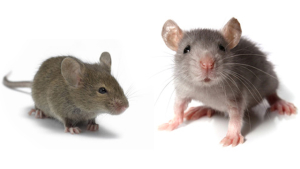 Rodent Control Los Angeles